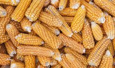 Disso Voce Sabia?: Milho OGM brasileiro resistente a pragas já está i...