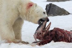 An adult polar bear feeding on the remains of a white-beaked dolphin in Raudfjorden on 2 July 2014. The dolphin is presumed to be a member of the same pod as the dolphins eaten by a bear in April.