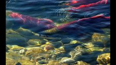 Alaska's Red Salmon Sockeye Fishes