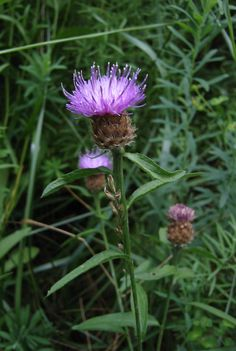 I like the Seuss-like quality of this unique flower!  :)  (ANNUAL in zone 5~ only listed to zone 7 hardy~ sigh)   CENTAUREA NIGRA   Black Knapweed, Lesser Knapweed, Hardheads, Spanish Buttons