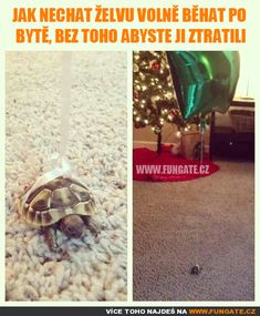 Funny pictures about Clever Way To Keep Track Of Where Your Tortoise Is. Oh, and cool pics about Clever Way To Keep Track Of Where Your Tortoise Is. Also, Clever Way To Keep Track Of Where Your Tortoise Is photos. Cute Funny Animals, Funny Cute, Top Funny, Animals And Pets, Baby Animals, Baby Tortoise, Tortoise Food, Sulcata Tortoise, Tortoise Cage