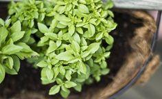 Aprenda a congelar suas ervas para evitar desperdício