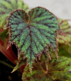 Begonia picta by auris bego, via Flickr