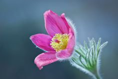 Photograph Pulsatilla... by verika  on 500px