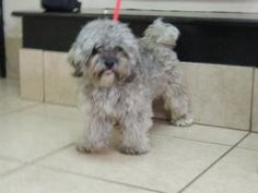 NEWMAN is an adoptable Lhasa Apso Dog in Sussex, NJ. Hi my name is Newman. �I am a very handsome 2 year old lhasa apso who weighs 15 lbs. �I am a happy boy who does not meet a stranger. �I love other ...