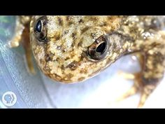 In The Battle To Save Frogs, Scientists Fight Fungus With Fungus : NPR