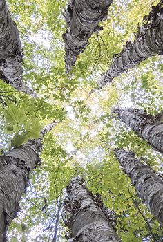 Seven Birches by Adirondack Artists Guild member Barry Lobdell. Photograph ~ 14.5 x 9.75