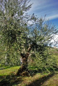 Tuscany in Winter - Montalcino Brunello Di Montalcino, Tuscany, Wines, The Good Place, Country Roads, World, Places, Olive Tree, Tuscany Italy