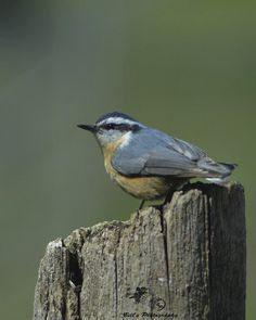 Red-breasted Nuthatch (Sitta canadensis) - Photo by Bill Reynolds - A Red-breasted Nuthatch, though well within their range, it's not a common bird here on the edge of the prairie in NW Pennington County - http://www.minnesotaseasons.com/Birds/Red-breasted_Nuthatch.html