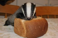 Oh my goodness! A rescued baby badger at the Secret World Wildlife Rescue Center on a loaf of bread!