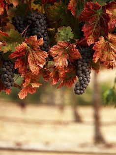 Beautiful grape vines under an Autumn sky Raindrops And Roses, Autumn Scenery, Autumn Day, Fall Harvest, Harvest Time, Wine Country, Grape Vines, Vineyard, Berries