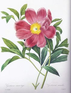 """""""Gentiane sans tige"""" illustrates Pierre Joseph Redoute's Choix des plus belles fleurs (Paris 1827-33). The plate title is a misnomer, as this flower is a peony, and later prints pulled from this plate show the corrected title, """"Pivoine officinale a' fleurs simples."""""""
