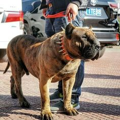 This is a concept dog that people expect to create. The 'Mollosso Presa Mayo'. Giant Dogs, Big Dogs, Presa Mayo, Pit Bull, Kangal Dog, Gato Animal, Rare Dogs, Dog Yard, Mastiff Dogs