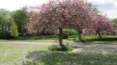 Cherry Blossoms creating 'natural' confetti on the croquet lawn. #Myrescastle