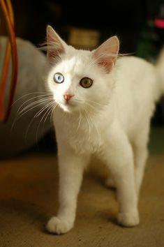57 gatos lindo com heterocromia