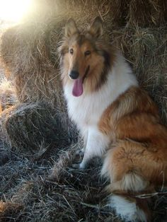 Beautiful Collie ... The Reluctant Paladin