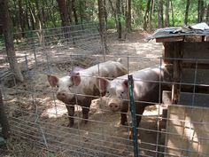 How to grow out feeder pigs - on the cheap.