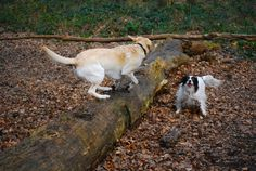 young yellow labrador retriever dog playing in a parkforest