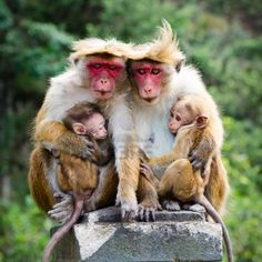 Monkey family with two babies. Red faces macaque (Macaca fuscata).
