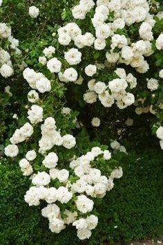 Why You Should Have a Garden Fountain Garden Trellis, Herb Garden, Garden Plants, Moon Garden, Dream Garden, Rose Foto, Rooftop Garden, Flowering Vines, White Gardens