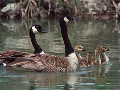 """They're back!!  Canada Geese - """"Honkers"""