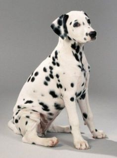 dalmation dog photo | Non-Sporting Group of Dog Breeds as referenced by the American Kennel ...