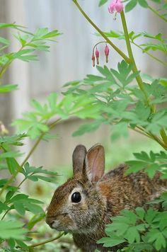 Precious bunny sitting amongst bleeding heart. ♥