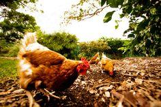 Hens are inquisitive animals. #hensdeservebetter