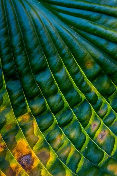 Hosta Ripple | by janet little