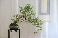Kitora Bonsai
