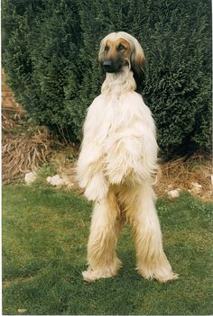 Afghan Hounds stand up like this to see better ~ sometimes causing Yeti sitings. I always wanted one of these beautiful dogs! Baby Dogs, Pet Dogs, Dogs And Puppies, Dog Cat, Doggies, Pet Pet, Love My Dog, Beautiful Dogs, Animals Beautiful
