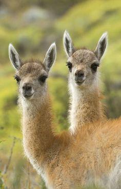 Llamas - Alpacas -Guanacos - Vicuñas en Pinterest | Alpacas, Llamas y ...