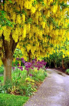 Laburnum as surprise focus in Zen garden: through a visual tunnel at the end/ round a corner. Landscaping with Accent Trees -- Golden-chain tree pictured (Laburnum tree) Trees And Shrubs, Flowering Trees, Trees To Plant, Beautiful Gardens, Beautiful Flowers, Beautiful Beautiful, Golden Chain Tree, Baumgarten, The Secret Garden