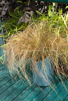 Sedge Ornamental Grass Carex siderosticha \'Golden Falls\' | Carex ...