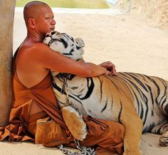 Picture shows tiger cuddling with a Buddhist monk in Thailand. We can in the new system.