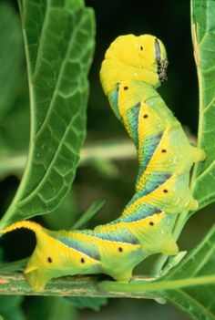 Caterpillar on plant, Malaysia