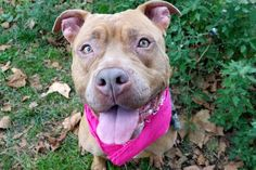 NESTLE - A1091880 - - Manhattan  Please Share:TO BE DESTROYED 10/15/16**AVERAGE RATED SWEETIE**A volunteer writes: What does Nestle's chocolate and our Nestle have in common? You guessed it! Both are absolutely delicious!! Our four-legged deliciousness is ready to come out of her kennel, go potty, make new friends and head off for an adventure. Pulling hard on the leash at first, she eventually settles into a good rhythm with me, and I get a chance to admire her lovel