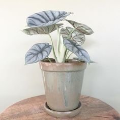 Houseplants and herb gardens are well-known as common plants that are grown indoors. But they are not the only plants that can be grown indoors. Foliage Plants, Potted Plants, Garden Plants, Indoor Plants, Alocasia Plant, House Plants Decor, Plant Decor, Decoration Plante, Gardens