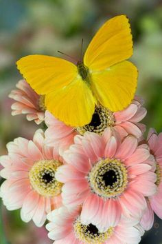 Yellow butterfly and light pink flowers.