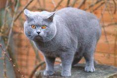 Blue British Shorthair