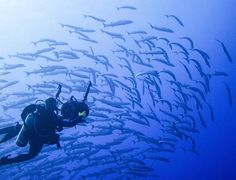 Katrina Adams/Special Contributor Diver and school of barracuda off Kosrae, FSM. Hard Coral, Federated States Of Micronesia, Coral Garden, South Pacific, Underwater, Diving, Shark, Remote, Ocean