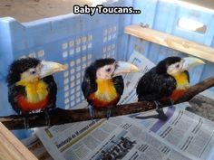 Little baby toucans . . .