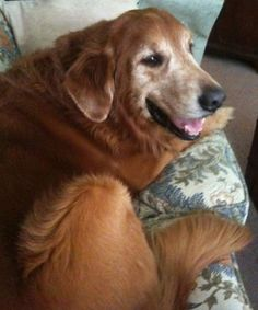 This is Harry Lee - 9 yrs. His owner became extremely ill & had to surrender him. He has great house manners, is potty trained & gets along with other dogs. He loves to snuggle. Harry Lee is looking for a forever home and is at Grateful Golden Retriever Rescue Low Country, S.C.
