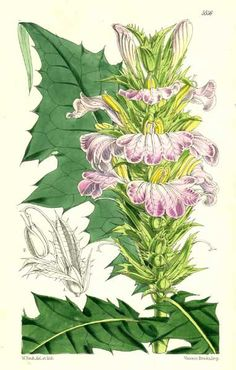 dreamssoreal:  Acanthaceae - Acanthus montanusFrom: Curtis's botanical magazine (1865)
