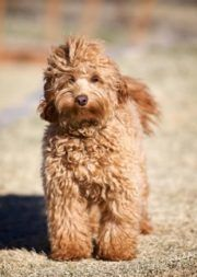 Highlands Australian Cobberdogs is Colorado's premier Cobberdog Breeder of Australian Labradoodle puppies. To learn more call Australian Labradoodle Puppies, Puppies For Sale, Highlands, Pets, Animals, Dog, Animales, Animaux, Animal