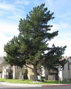 SelecTree - A tree selection guide for California Redwood Forest, Pine Tree, Life Hacks, Tattoo Ideas, San Francisco, Tropical, Trees, California, Lifehacks