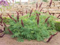 Melianthus major - F