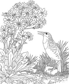 Free printable coloring page vermont state bird and for Meadowlark coloring page