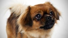 Tibetan Spaniel.  Winston's coloring almost exactly
