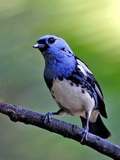 Foto cambada-de-chaves (Tangara brasiliensis) por Celi Aurora | Wiki Aves - A Enciclopédia das Aves do Brasil